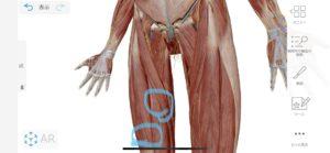 太腿の内側の神経