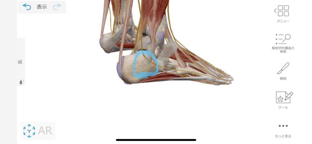 踵の外側の神経